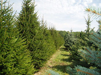 Full, shapely, healthy evergreens at Big Tree Plantation, Morrow, Ohio, near Cincinnati, Columbus and Lebanon